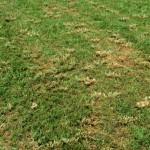 Echinochloa crus-galli2