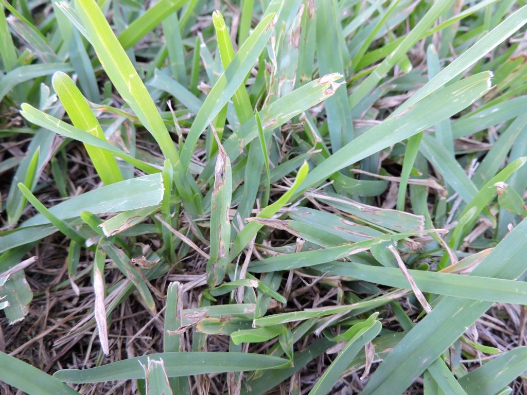 Grey-Leaf-Spot (1)